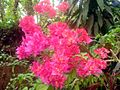 Bougainvillea flower 2.JPG