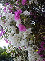 Bougainvillea in Mumbai India 1.jpg