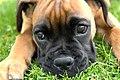 Boxer puppy fawn portrai.jpg