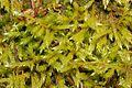Brachythecium salebrosum (e, 113758-471210) 1411.JPG