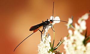 Braconidae - Atanycolus sp.