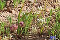 Brandegee's onion (Allium brandegeei syn. Allium brandegei).jpg