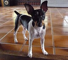 Brazilian Terrier Cropped.jpg