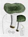 Bresadola - Russula virescens.png
