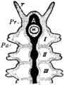 Britannica 1911 Arthropoda - Polychaet Chaetopod head.png