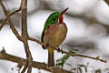 Broad billed tody 4.jpg