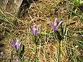 Brodiaea californica006.jpg