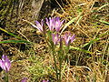 Brodiaea californica009.jpg