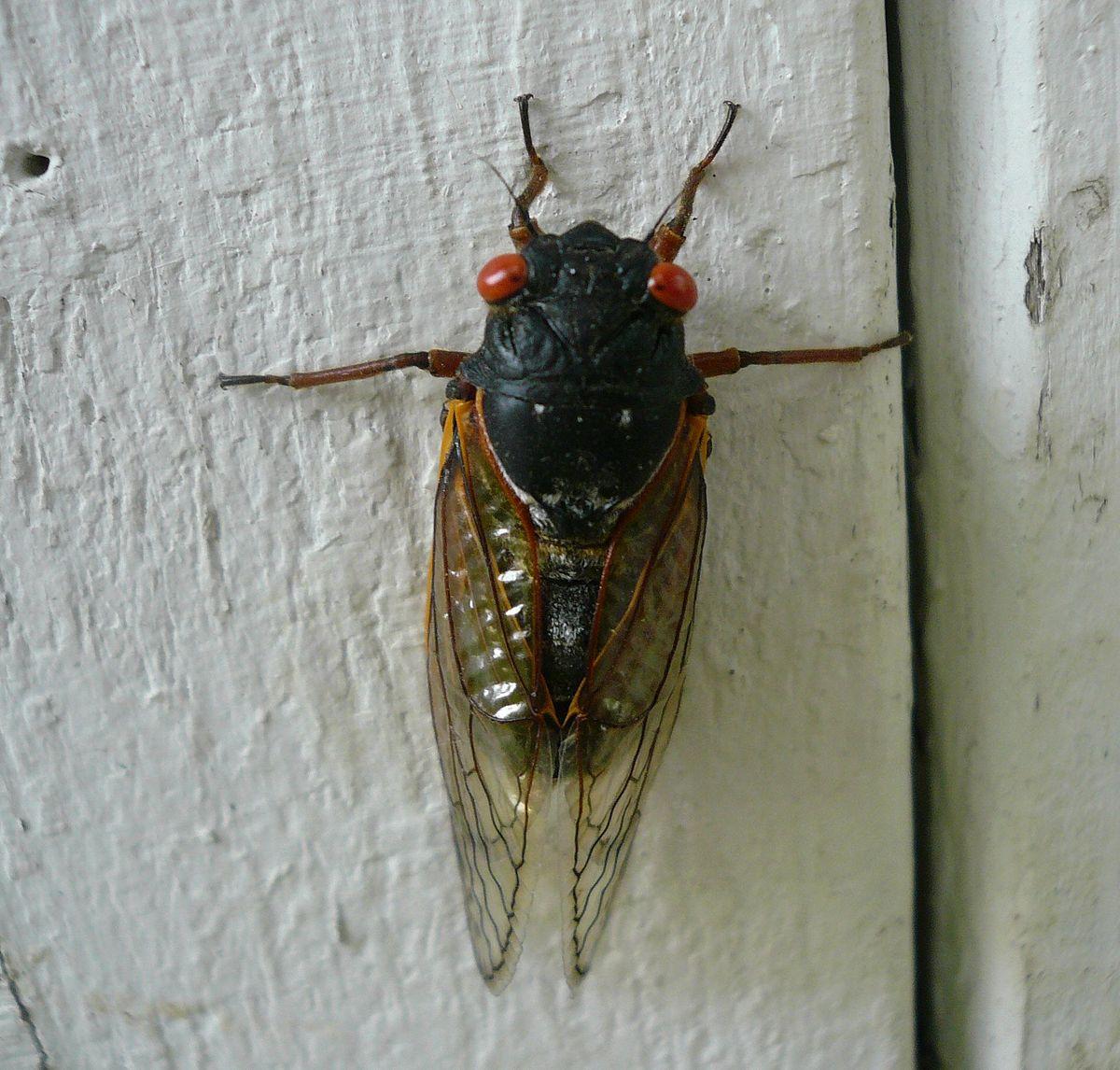 cassini periodical cicadas - photo #23