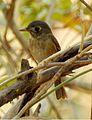 Brown-breasted Flycatcher Muscicapa muttui DSCN5439 (3).jpg