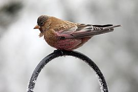 Brown-capped rosy finch.jpg