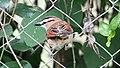 Brown-crowned Tchagra (Tchagra australis) (31622671367).jpg