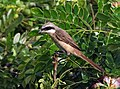 Brown Shrike I IMG 7367.jpg