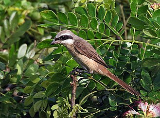 Brown shrike - Lanius cristatus lucionensis, the Philippine shrike; note the grey crown and white throat contrasting with the rufescent underside. Kolkata, India