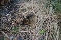 Brunrotte (Rattus norvegicus).jpg