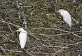 Bubulcus ibis - Western Cattle Egret 11.jpg