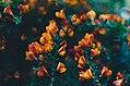 Budding fiery flowers (Unsplash).jpg