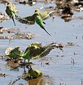 Budgergahs at water 2 (7857361496).jpg