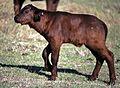 Buffalo Calf (Syncerus caffer) (8292038156).jpg