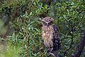 Buffy Fish Owl from Sundarbans.jpg