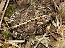 Невинно оговорённая жабка - фото из Википедии
