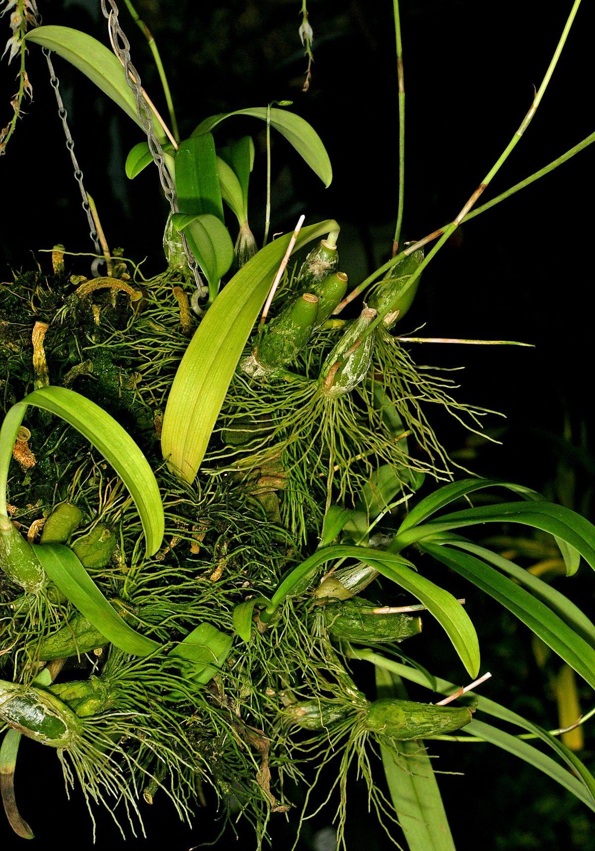 Bulbophyllum hirtum - Wikimedia Commons