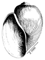 Bulinus tropicus shell 5.png