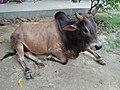 Bull - ISKCON Campus - Mayapur - Nadia 20170815154219.jpg
