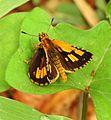Bush Hopper Ampittia dioscorides Male Sri Lanka by Dr. Raju Kasambe DSCN4025 (10).jpg