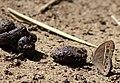 Bush brown spp from Parambikulam T R (83).jpg