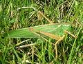 Bush cricket (Tettigonia viridissima, female).jpg