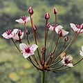 Butomus umbellatus-IMG 4692.jpg