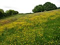 Buttercups in Tank Meadow - geograph.org.uk - 1342414.jpg
