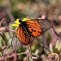 Butterfly - probably Acraea horta - garden acraea (38152921632).jpg