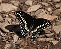 Butterfly on the ground (2468531785).jpg