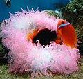 Cá khoang cổ đen, cá hề đỏ và hải quỳ ở Nha Trang.jpg