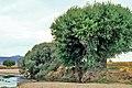 Cáceres, árboles 1975 03.jpg