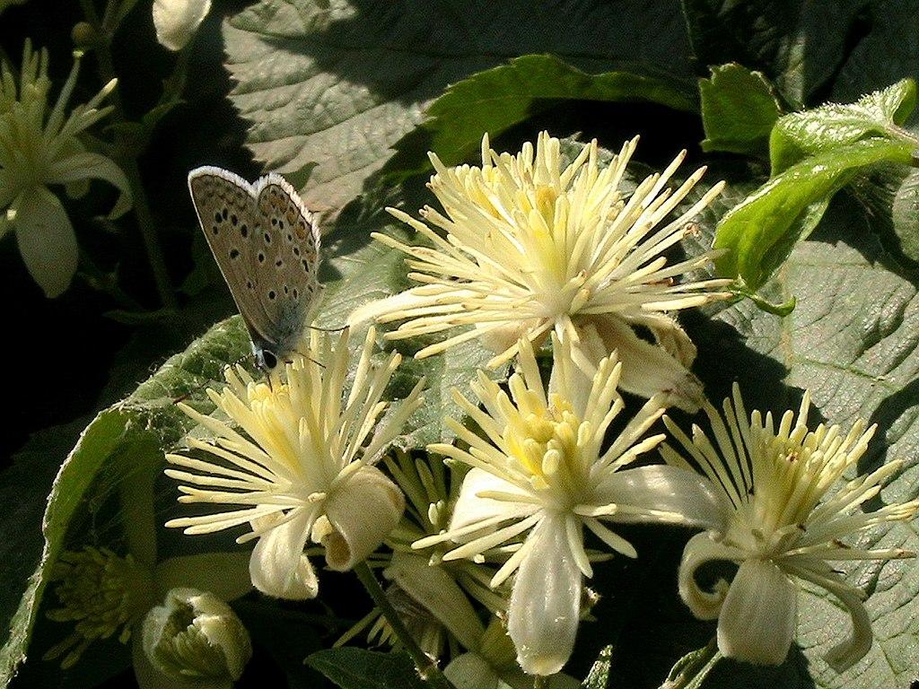 Plamienok plotný - kvety