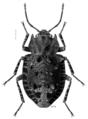 COLE Ulodidae Syrphetodes marginatus.png
