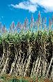 CSIRO ScienceImage 4539 Mature sugarcane crop Atherton QLD.jpg