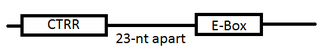 E-box - Relative Position of CTRR and E-Box