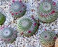 Cactus (8313238116).jpg