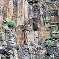 Cactuses on the vertical wall. Agulo. La Gomera, Canary Islands, Spain - panoramio.jpg