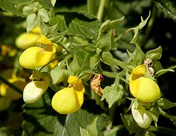 meaning of calceolaria