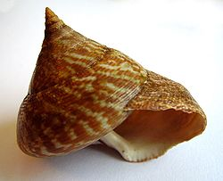 The shell of the tiger top snail, Calliostoma tigris, from New Zealand.