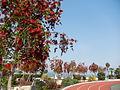 """Callistemon - épis en goupillon - arbuste """"rince-bouteilles"""" à Roquebrune-Cap Martin - piscine de Carnoles.JPG"""