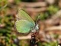 Callophrys rubi Oldfjallen.JPG