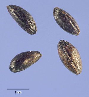 Caltha - Image: Caltha palustris seeds USDA