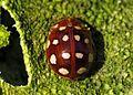 Calvia quatuordecimguttata (Coccinellidae) (Cream-spot ladybird) - (imago), Zoelen, the Netherlands.jpg