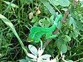 Caméléon vert à La Saline (3464432065).jpg